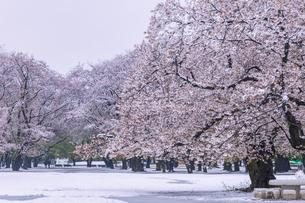 満開の桜と春の雪 東京の写真素材 [FYI04667114]