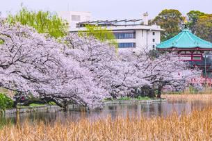 桜咲く不忍池 東京の写真素材 [FYI04667117]
