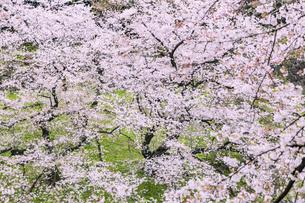 桜咲く千鳥ヶ淵 東京の写真素材 [FYI04667122]