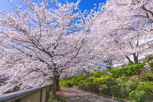 桜咲く遊歩道 東京の写真素材 [FYI04667127]