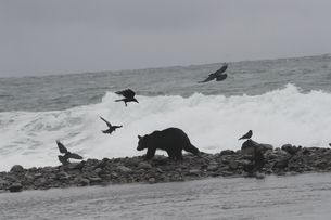 海岸で餌を探すヒグマに群がるカラスの写真素材 [FYI04667161]