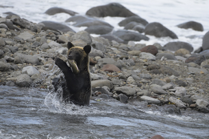 鮭を捕らえたヒグマの写真素材 [FYI04667191]