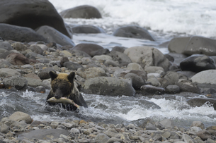 鮭を捕らえたヒグマの写真素材 [FYI04667194]