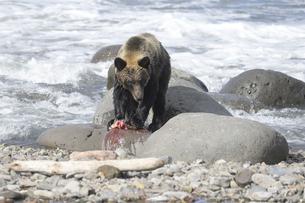 鮭を食べるヒグマの写真素材 [FYI04667197]
