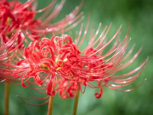 【秋】赤い彼岸花が咲いている様子 曼珠沙華の写真素材 [FYI04667365]