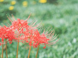 【秋】赤い彼岸花が咲いている様子 曼珠沙華の写真素材 [FYI04667366]