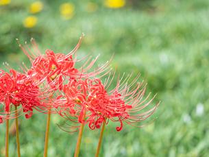【秋】赤い彼岸花が咲いている様子 曼珠沙華の写真素材 [FYI04667368]