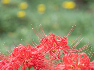 【秋】赤い彼岸花が咲いている様子 曼珠沙華の写真素材 [FYI04667374]
