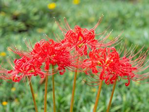【秋】赤い彼岸花が咲いている様子 曼珠沙華の写真素材 [FYI04667375]