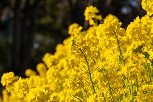 菜の花の写真素材 [FYI04667402]