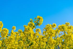菜の花の写真素材 [FYI04667403]