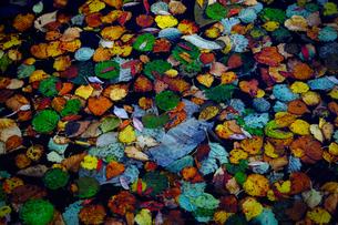 水面の落ち葉の写真素材 [FYI04667852]
