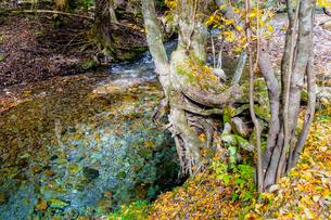 九重連山の東麓、黒岳原生林で湧く男池湧水群の紅葉の写真素材 [FYI04668089]