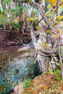 九重連山の東麓、黒岳原生林で湧く男池湧水群の紅葉の写真素材 [FYI04668090]
