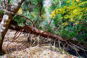 九重連山の東麓、黒岳原生林で湧く男池湧水群の紅葉の写真素材 [FYI04668092]