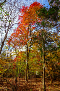九重連山の東麓、黒岳原生林で湧く男池湧水群の紅葉の写真素材 [FYI04668093]