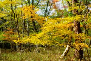 九重連山の東麓、黒岳原生林で湧く男池湧水群の紅葉の写真素材 [FYI04668096]