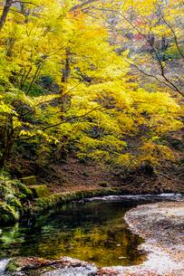 九重連山の東麓、黒岳原生林で湧く男池湧水群の紅葉の写真素材 [FYI04668098]