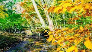 九重連山の東麓、黒岳原生林で湧く男池湧水群の紅葉の写真素材 [FYI04668099]