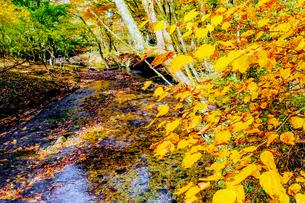九重連山の東麓、黒岳原生林で湧く男池湧水群の紅葉の写真素材 [FYI04668100]