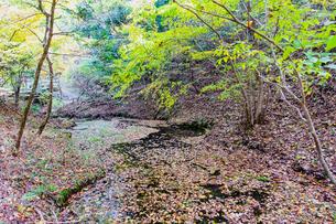 九重連山の東麓、黒岳原生林で湧く男池湧水群の紅葉の写真素材 [FYI04668101]