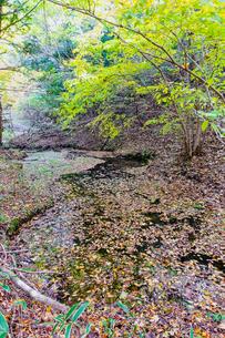 九重連山の東麓、黒岳原生林で湧く男池湧水群の紅葉の写真素材 [FYI04668102]