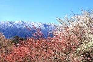 梅林と雪山の写真素材 [FYI04668145]