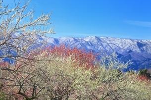 梅林と雪山の写真素材 [FYI04668146]