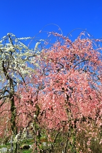 三重 いなべ市農業公園の梅林の写真素材 [FYI04668149]
