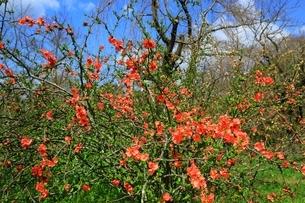 ボケの花の写真素材 [FYI04668169]