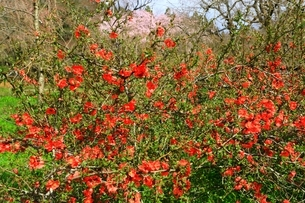 ボケの花の写真素材 [FYI04668170]