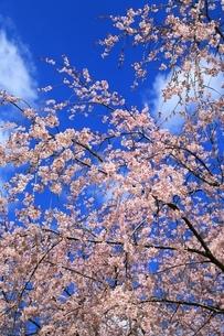 シダレ桜と青空の写真素材 [FYI04668171]