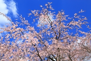 シダレ桜と青空の写真素材 [FYI04668172]