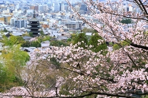 桜と八坂の塔 京都市街眺望の写真素材 [FYI04668185]
