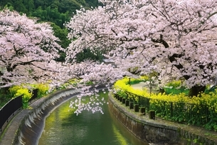 山科疎水 桜と菜の花の写真素材 [FYI04668204]