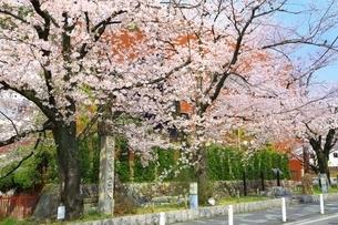 桜咲く高瀬川一之船入の写真素材 [FYI04668210]