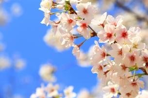 桜の花の写真素材 [FYI04668243]