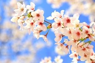 桜の花の写真素材 [FYI04668244]