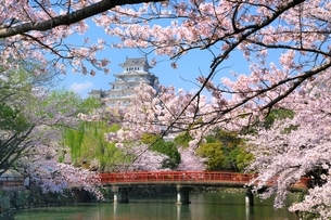 桜咲く姫路城の写真素材 [FYI04668250]