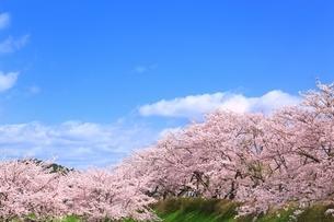 桜並木と青空の写真素材 [FYI04668268]