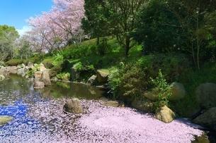 桜咲く葛城山麓公園と花筏の写真素材 [FYI04668269]