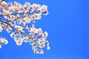 桜の花の写真素材 [FYI04668271]