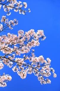 桜の花の写真素材 [FYI04668272]