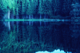 湖に映り込むスギの群生林の写真素材 [FYI04668527]