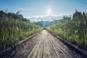 ススキと木製の歩道の写真素材 [FYI04668529]