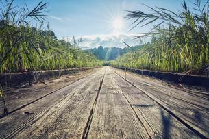 ススキと木製の歩道の写真素材 [FYI04668530]