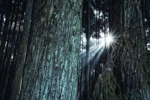 スギの群生林の隙間から差し込む太陽の光の写真素材 [FYI04668532]