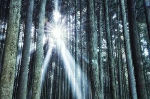 スギの群生林の隙間から差し込む太陽の光の写真素材 [FYI04668534]