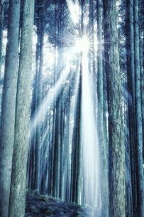 スギの群生林の隙間から差し込む太陽の光の写真素材 [FYI04668535]