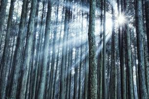 スギの群生林の隙間から差し込む太陽の光の写真素材 [FYI04668536]